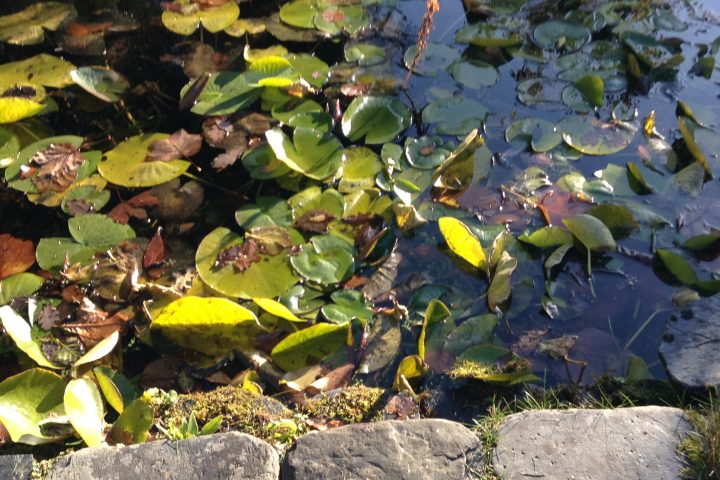 Pond & Leaves